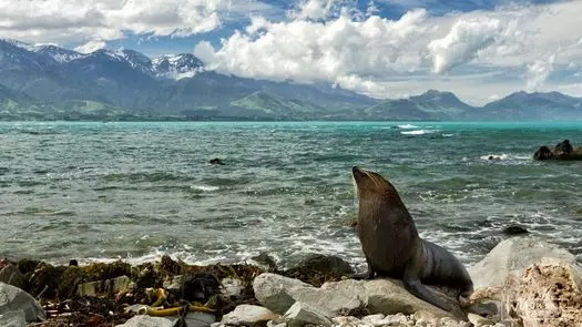 如何在新西兰邂逅鲸鱼 2016-02-05 世界上最独特的生物是神马? 不卖关子,直接上图:  它叫白色座头鲸。去年7月5日,一头白色座头鲸莅临了新西兰南北岛之间的库克海峡。研究人员通过比对它的DNA样本,目前终于确认,它就是大名鼎鼎的Migaloo!  座头鲸是世界上体型最大,也是最珍稀的鲸鱼品种之一,而白色座头鲸,据相关报道,全球仅有4头!这4头座头鲸当中,又以这头名为Migaloo的白色座头鲸最为著名据研究,他应该是另外两头小白色座头鲸的生父。根据太平洋鲸鱼基金会记载,1991年,Migalo
